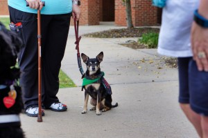 A woman with a cane holds the leash of a Miniature Pinscher wearing a green bandana.