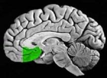 Medial Prefrontal Cortex (mPFC)