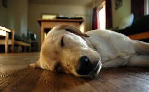 Sleeping dog1