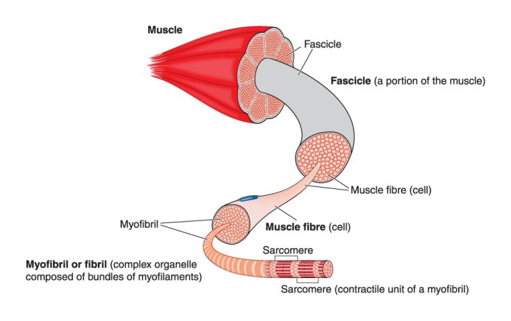 Myofibril muscle structure