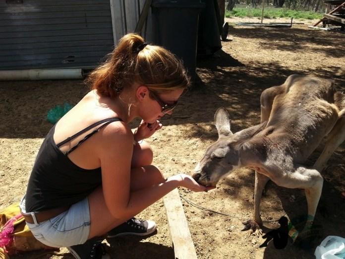 Feeding Red Kangaroo's In Blackall, Queensland