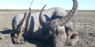 Dead buffalo arnhem land