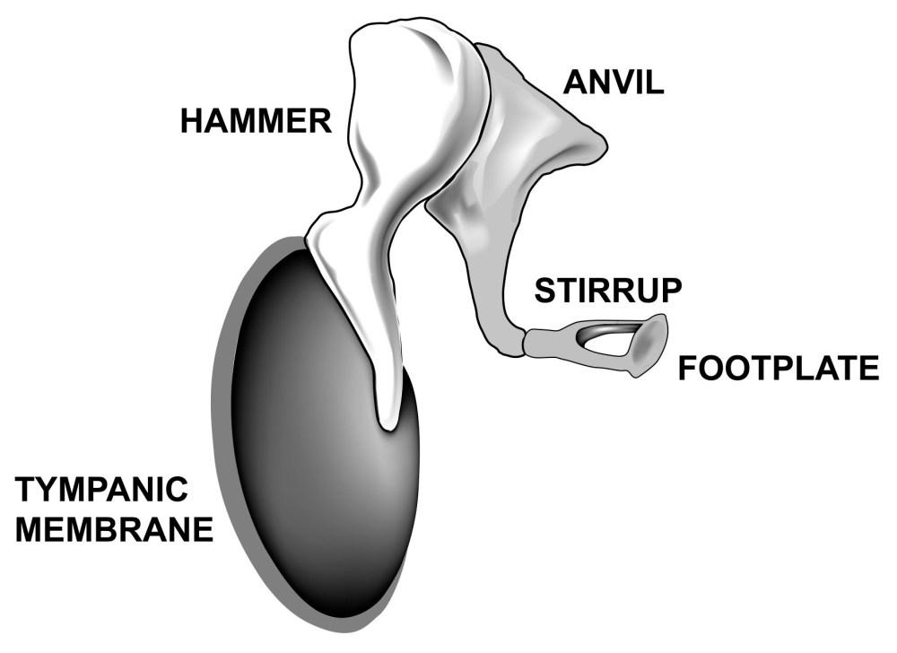medium resolution of ossicles