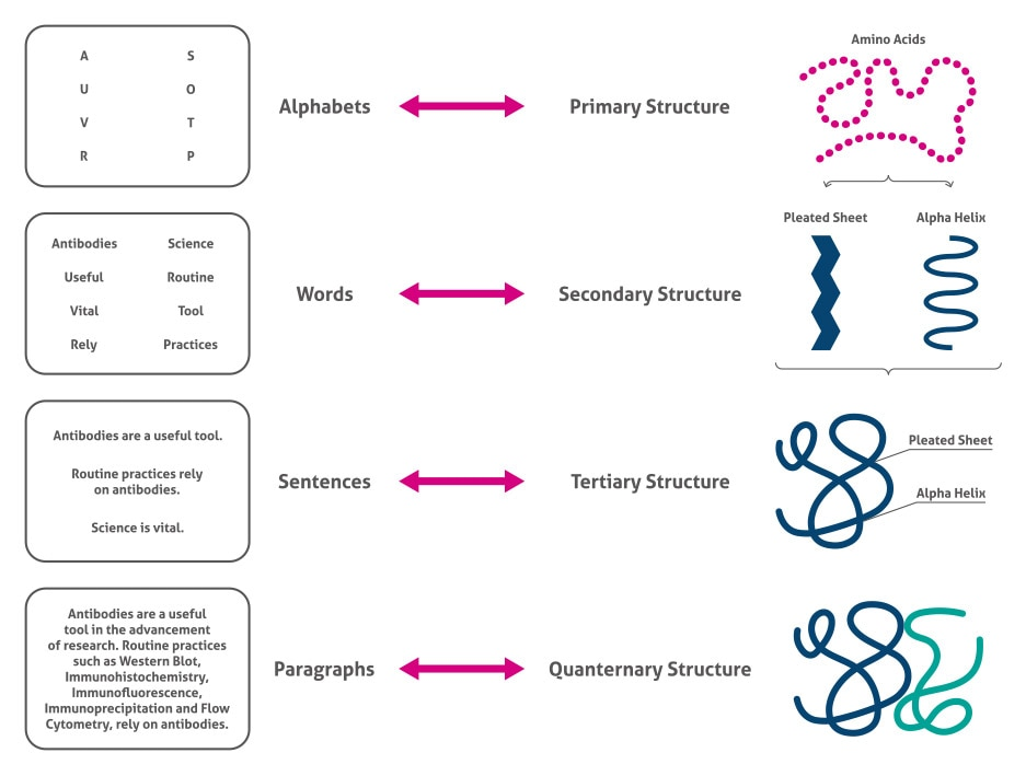 The Complexity of Proteins | Proteintech Group