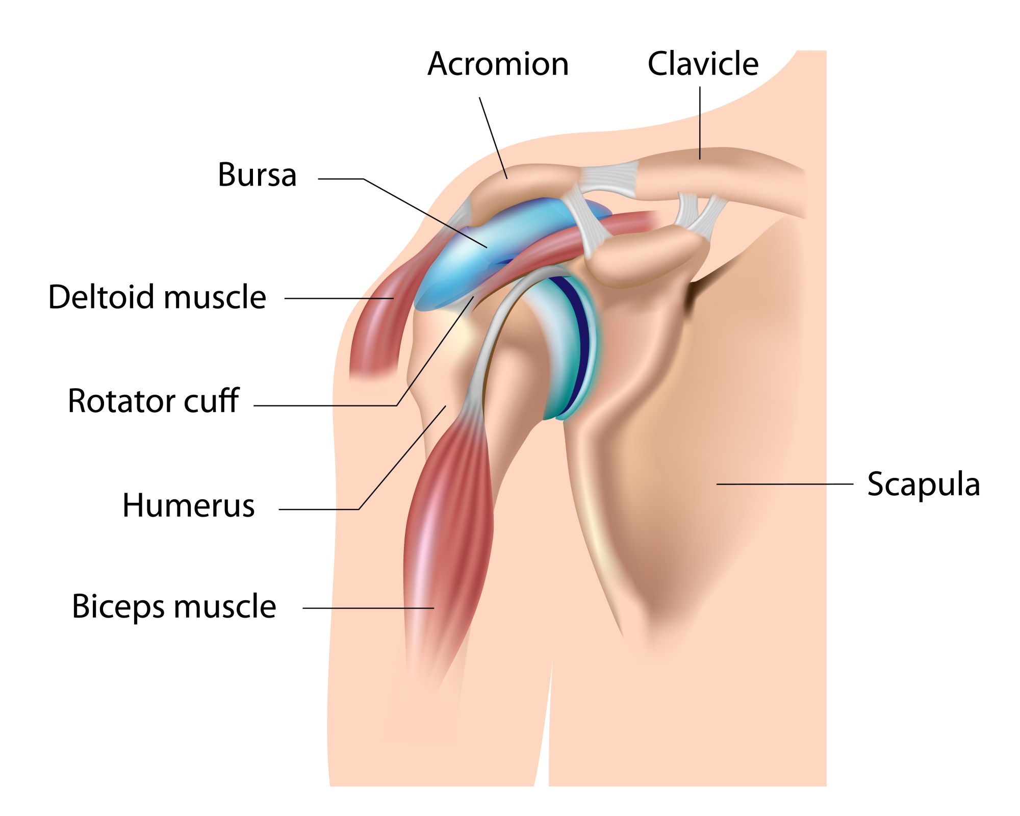 hight resolution of in many of the joints in our body there are structures called bursa