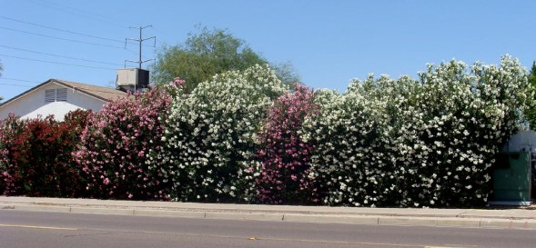 flowering tree for privacy