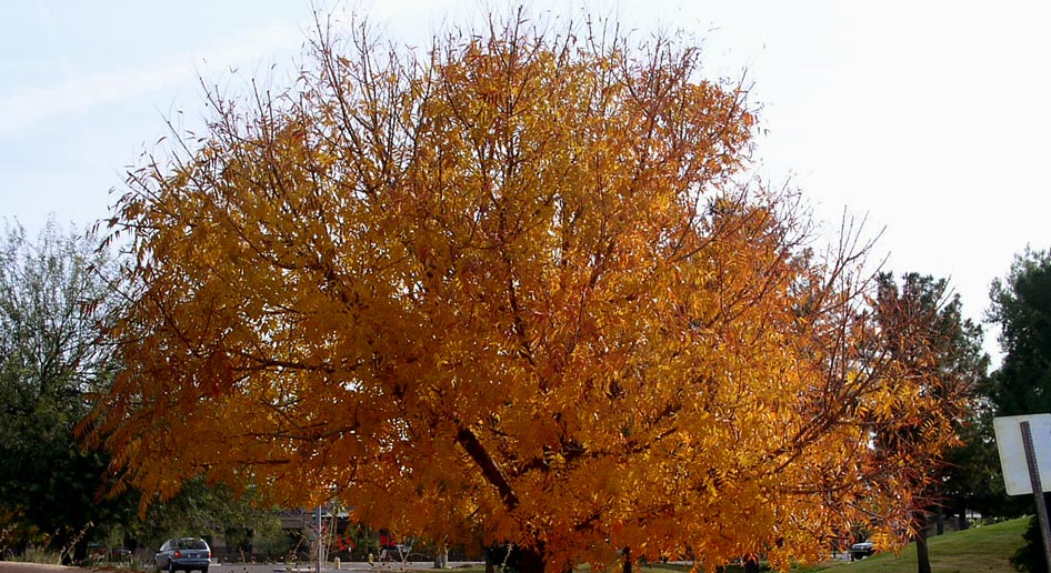 Landscape Use Mesic shade tree for large residential and commerciallandscapes  sometimes used