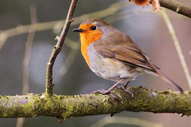 Image result for robin on branch