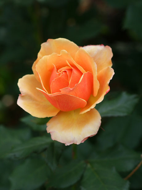 Creamsicle Rose Free Stock Photo  Public Domain Pictures