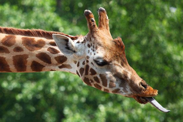 giraffe s tongue free