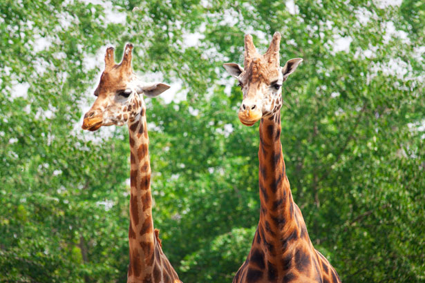 Two Giraffes Free Stock Photo  Public Domain Pictures