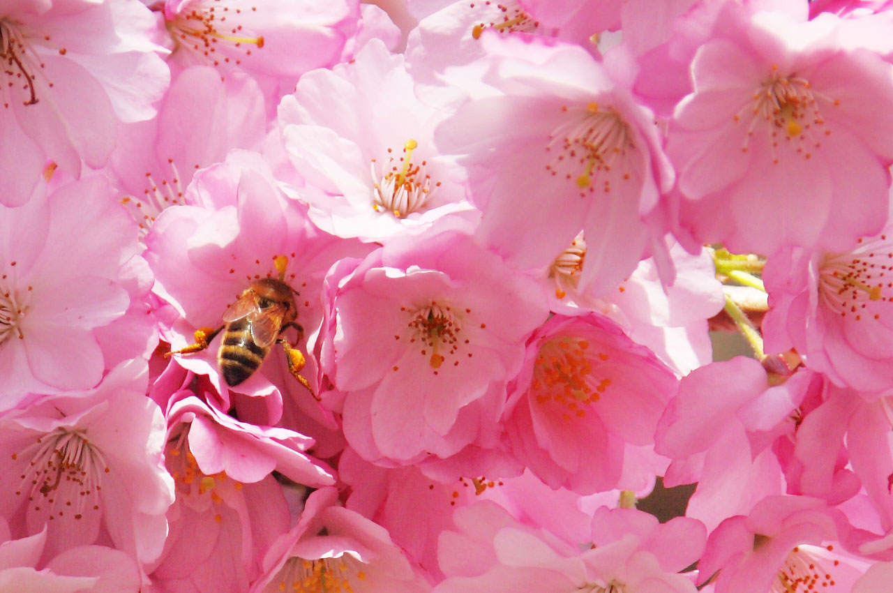蜜蜂授粉 免費圖片 - Public Domain Pictures