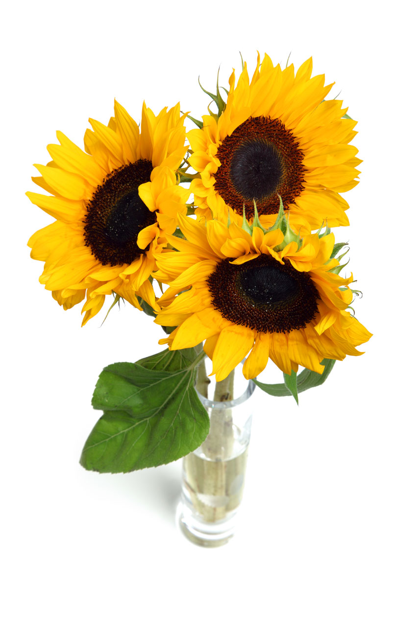 Sunflowers Isolated Free Stock Photo  Public Domain Pictures