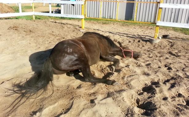 Horse Lying On The Ground Free Stock Photo  Public Domain