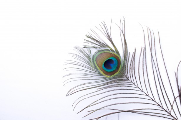 Peacock Feather Free Stock Photo  Public Domain Pictures