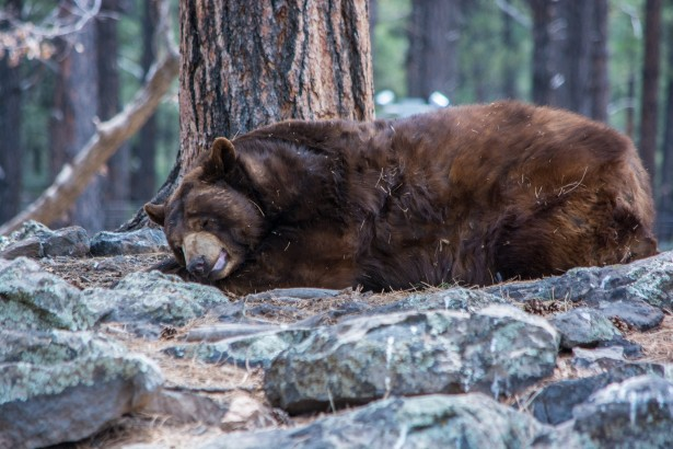 Www Hd Animal Wallpaper Com Sleeping Bear Free Stock Photo Public Domain Pictures