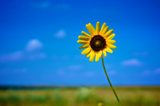 Yellow Sunflower Under Blue Sky Free Stock Photo  Public Domain Pictures