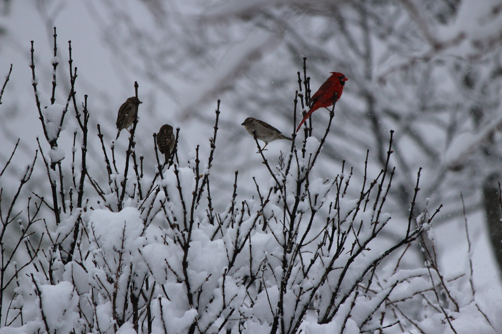 Winter, Birds, Snow