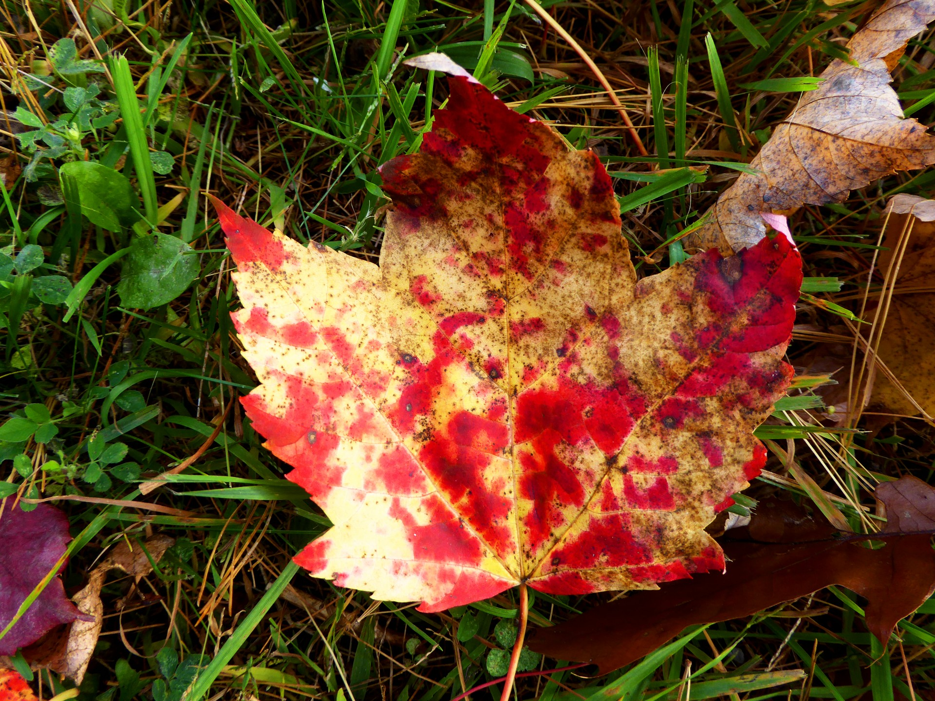 Yellow Red Maple Leaf Free Stock Photo