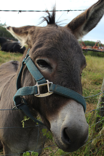 Donkey Jackass Free Stock Photo  Public Domain Pictures