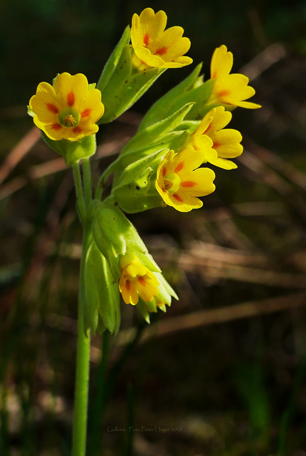 Image result for cowslip
