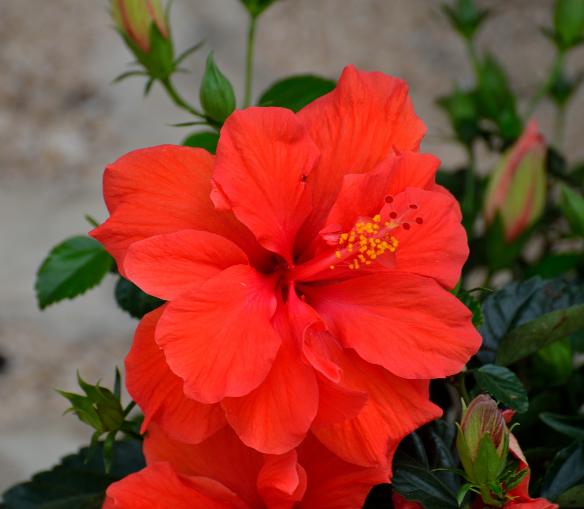 Shutterstock Hd Wallpapers Vibrant Red Hibiscus Flower Free Stock Photo Public