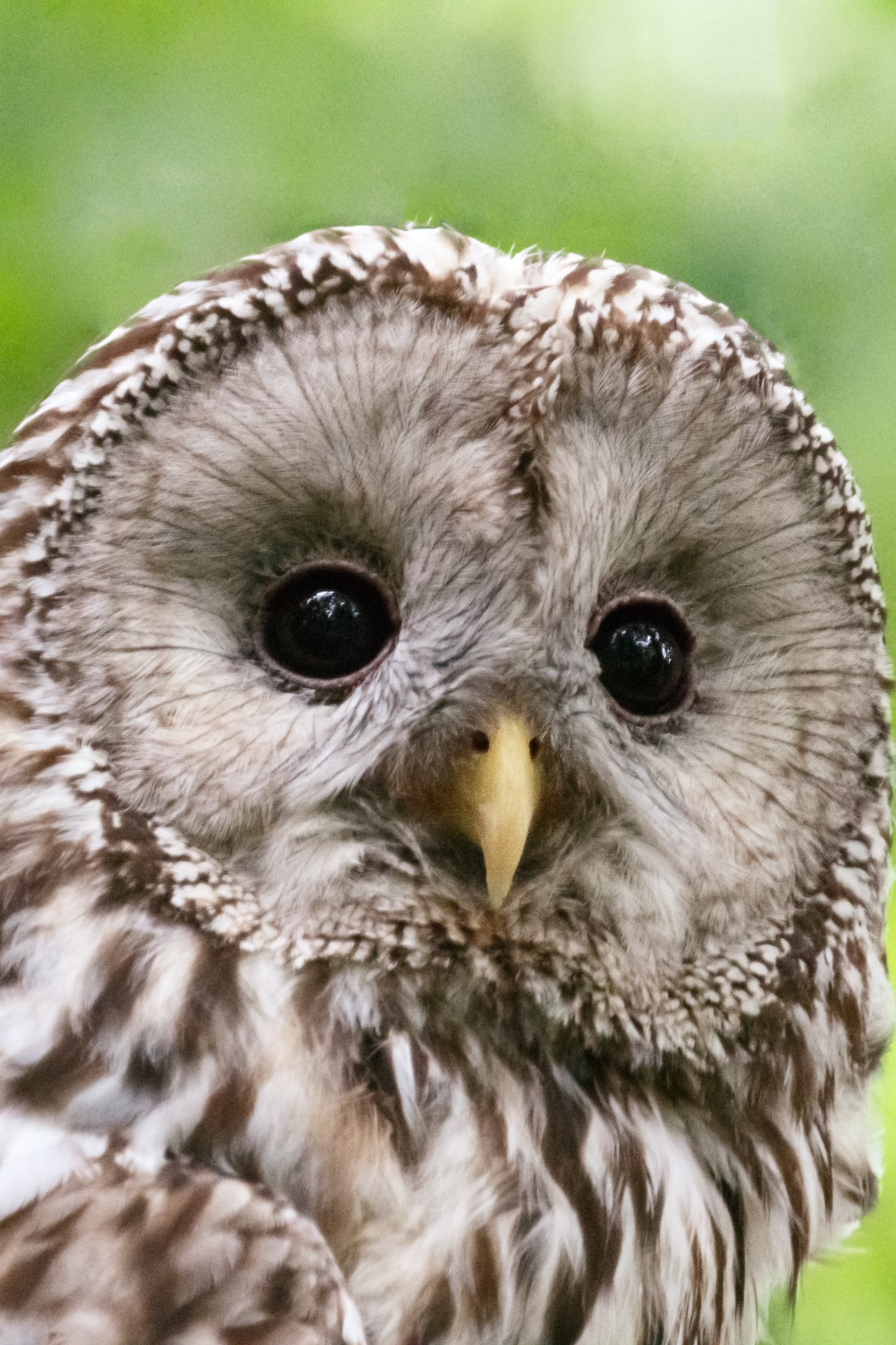 Ural Owl Free Stock Photo  Public Domain Pictures
