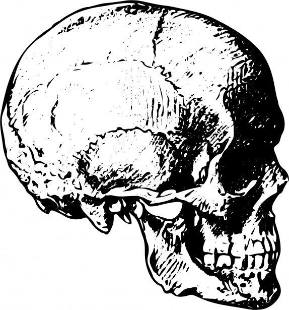 Human Skull Free Stock Photo Public Domain Pictures