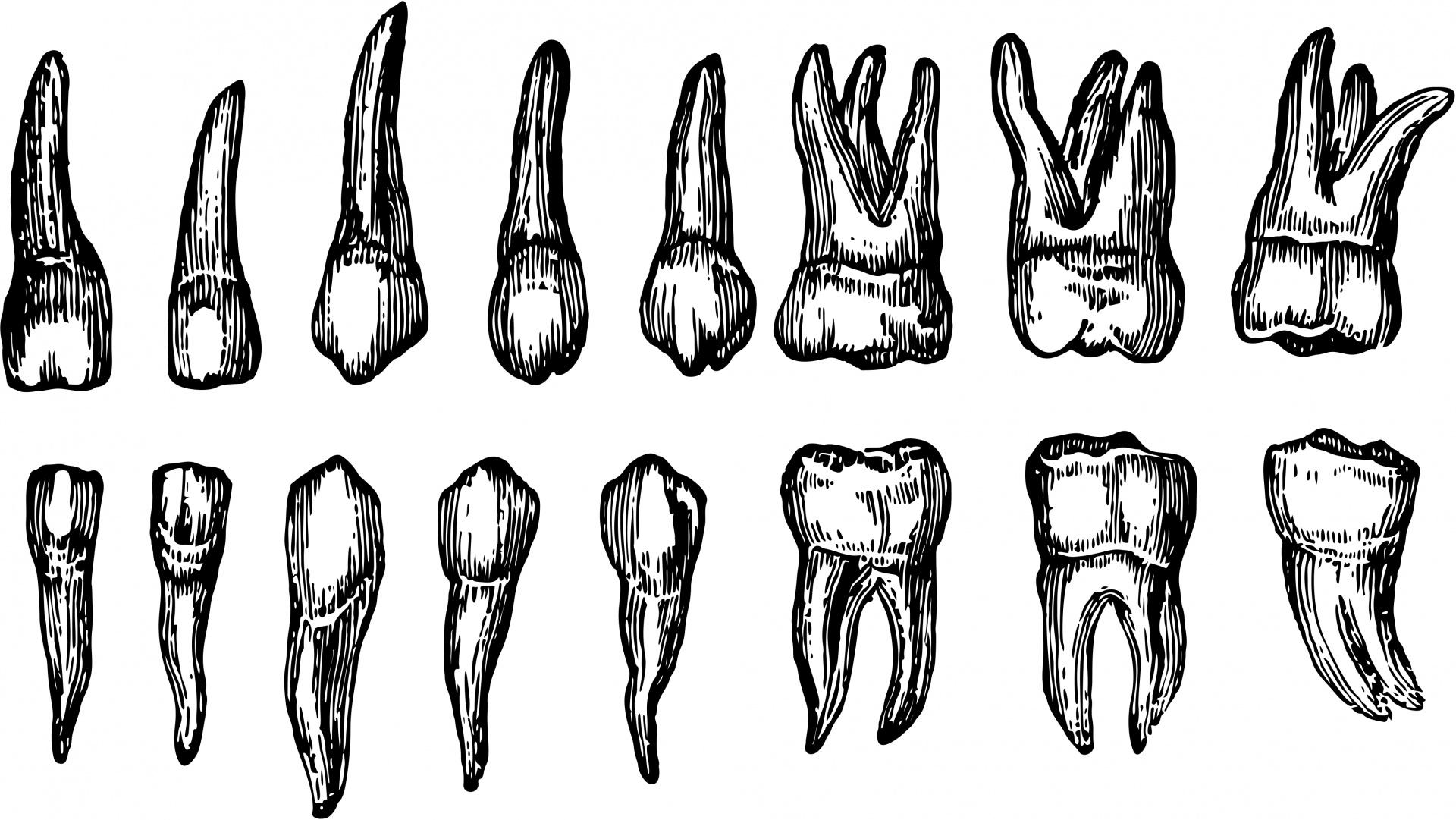 Human Teeth Free Stock Photo
