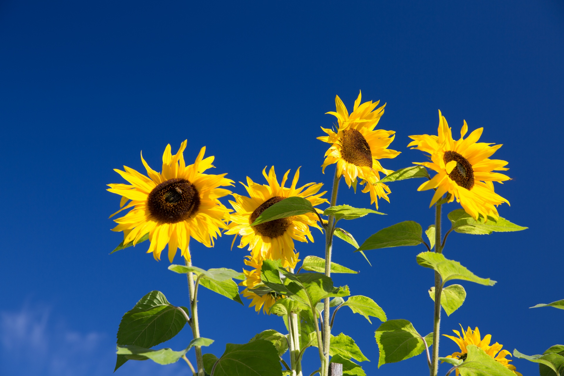 Fall Desktop Wallpaper With Sunflowers Sunflowers And Blue Sky Free Stock Photo Public Domain