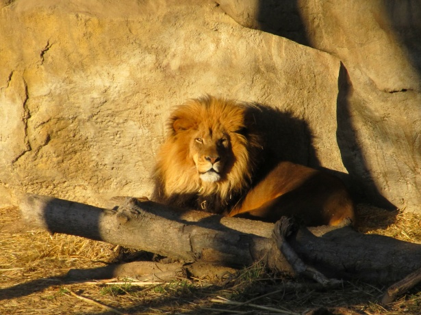 Lion Resting At Sunset Free Stock Photo  Public Domain Pictures