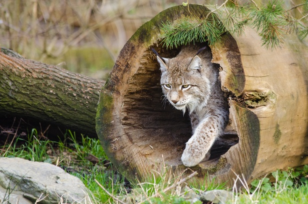 Nature Animal Wallpaper Hd Lynx Wildlife Free Stock Photo Public Domain Pictures