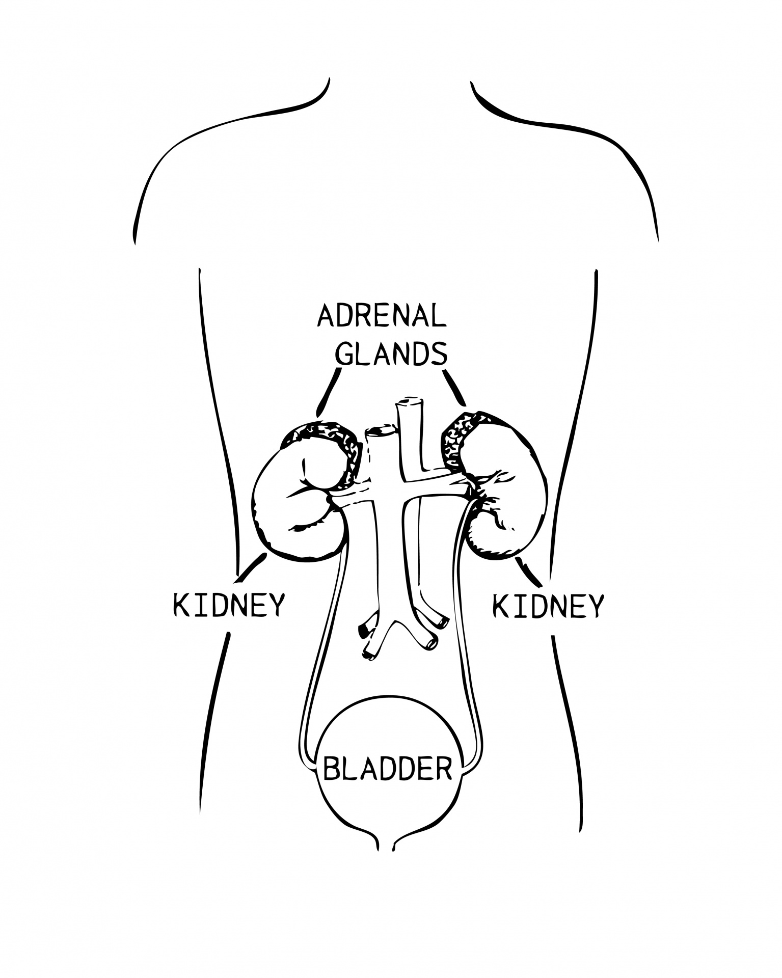 Adrenal Glands Diagram Illustration Free Stock Photo
