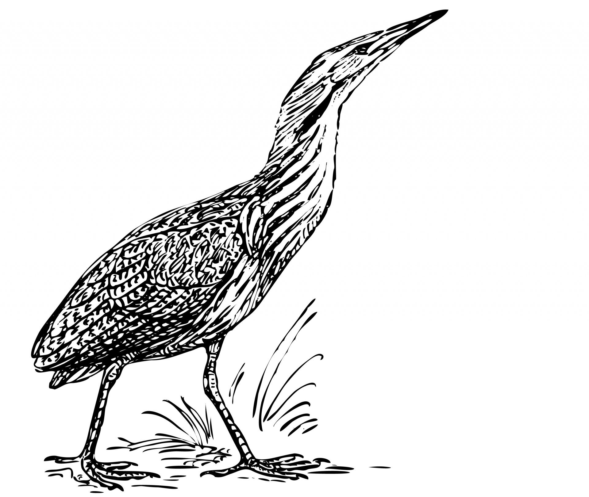 Bird Bittern Illustration Clipart Free Stock Photo