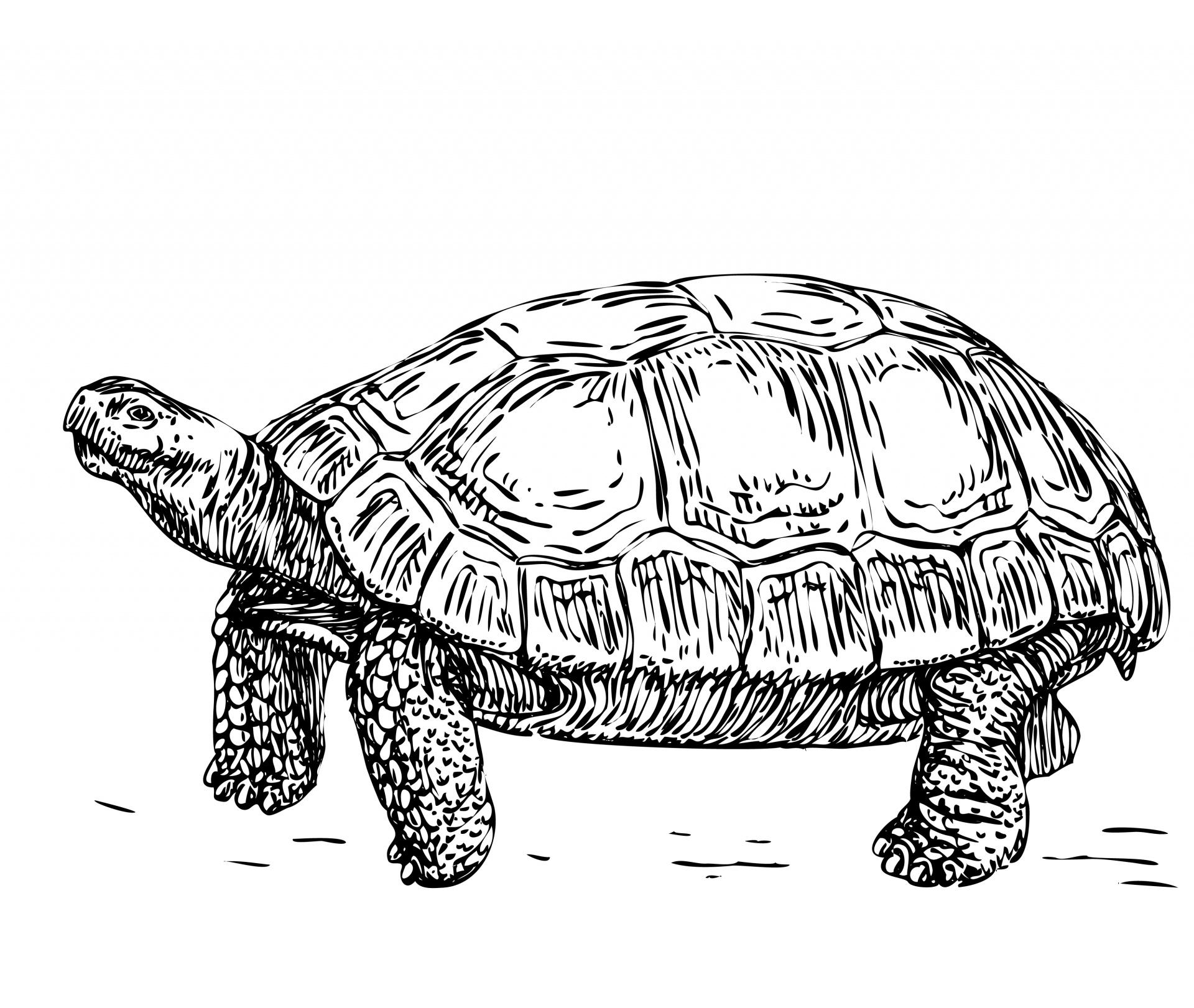 Tortoise Illustration Clipart Free Stock Photo