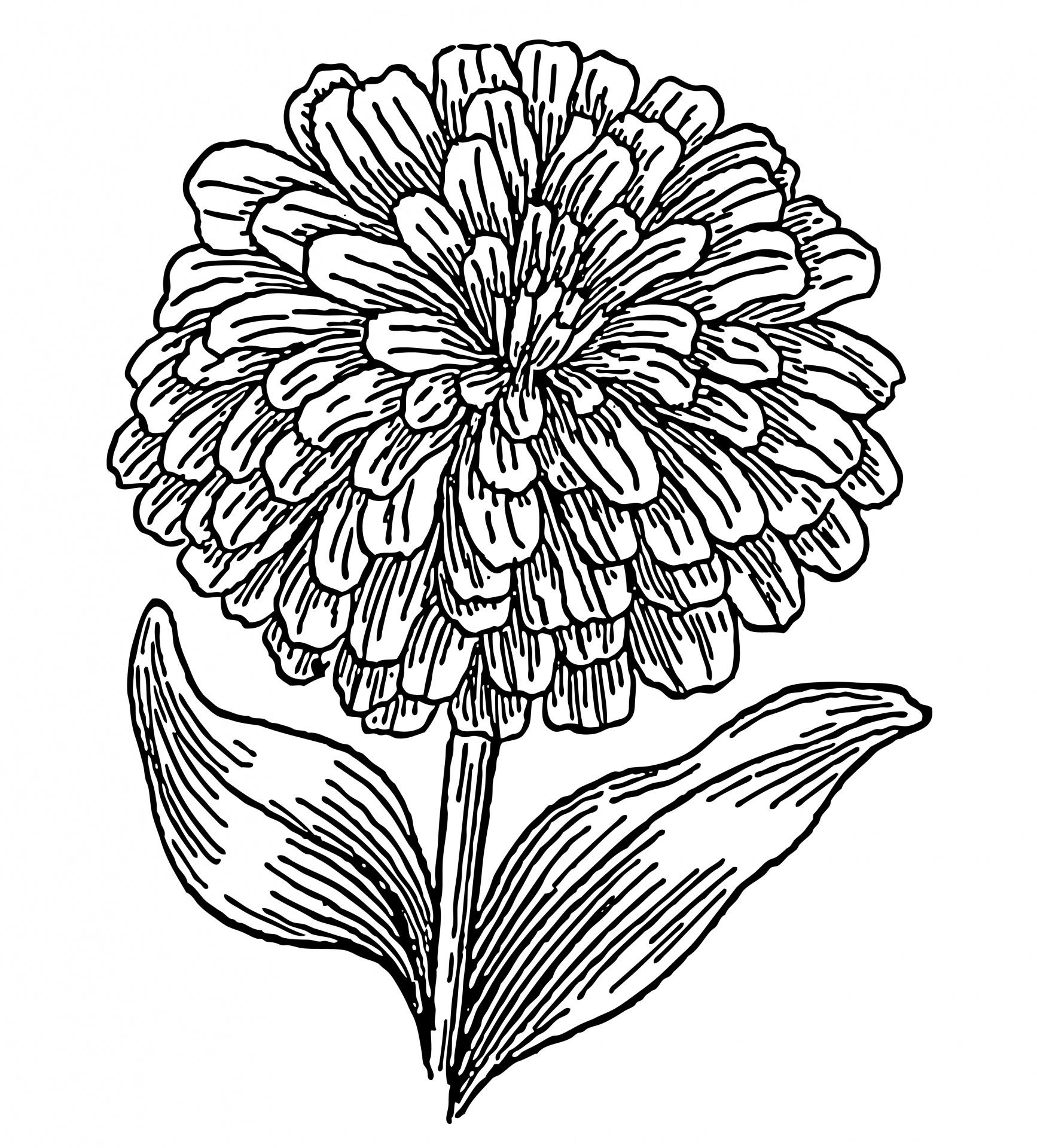 Fuschia Zinnia Flowers