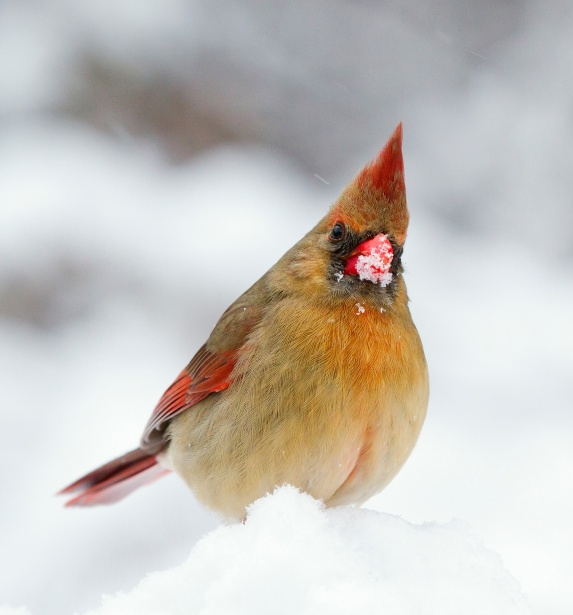 Female Cardinal In The Snow Free Stock Photo  Public