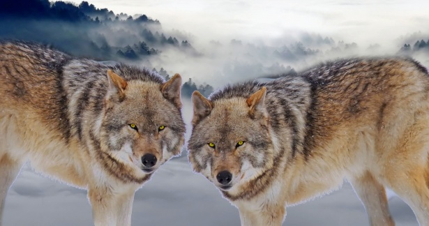 Forest Animal Wallpaper Wolf Free Stock Photo Public Domain Pictures