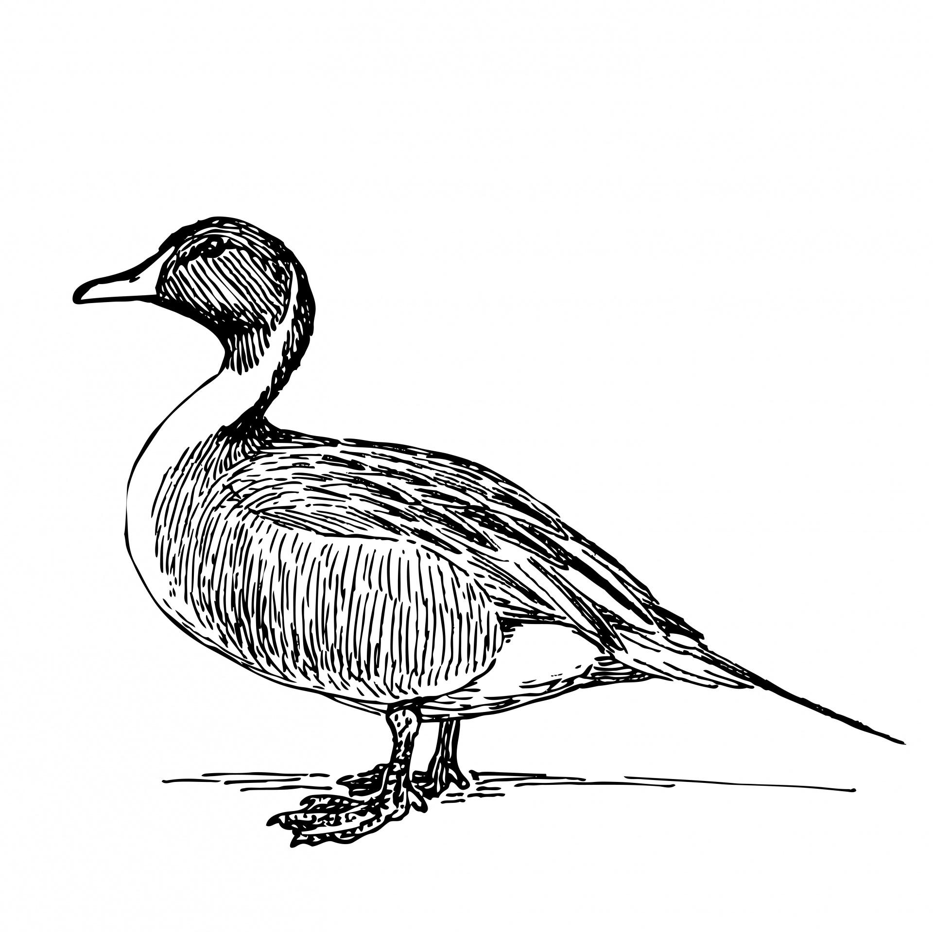 Duck Illustration Clipart Free Stock Photo