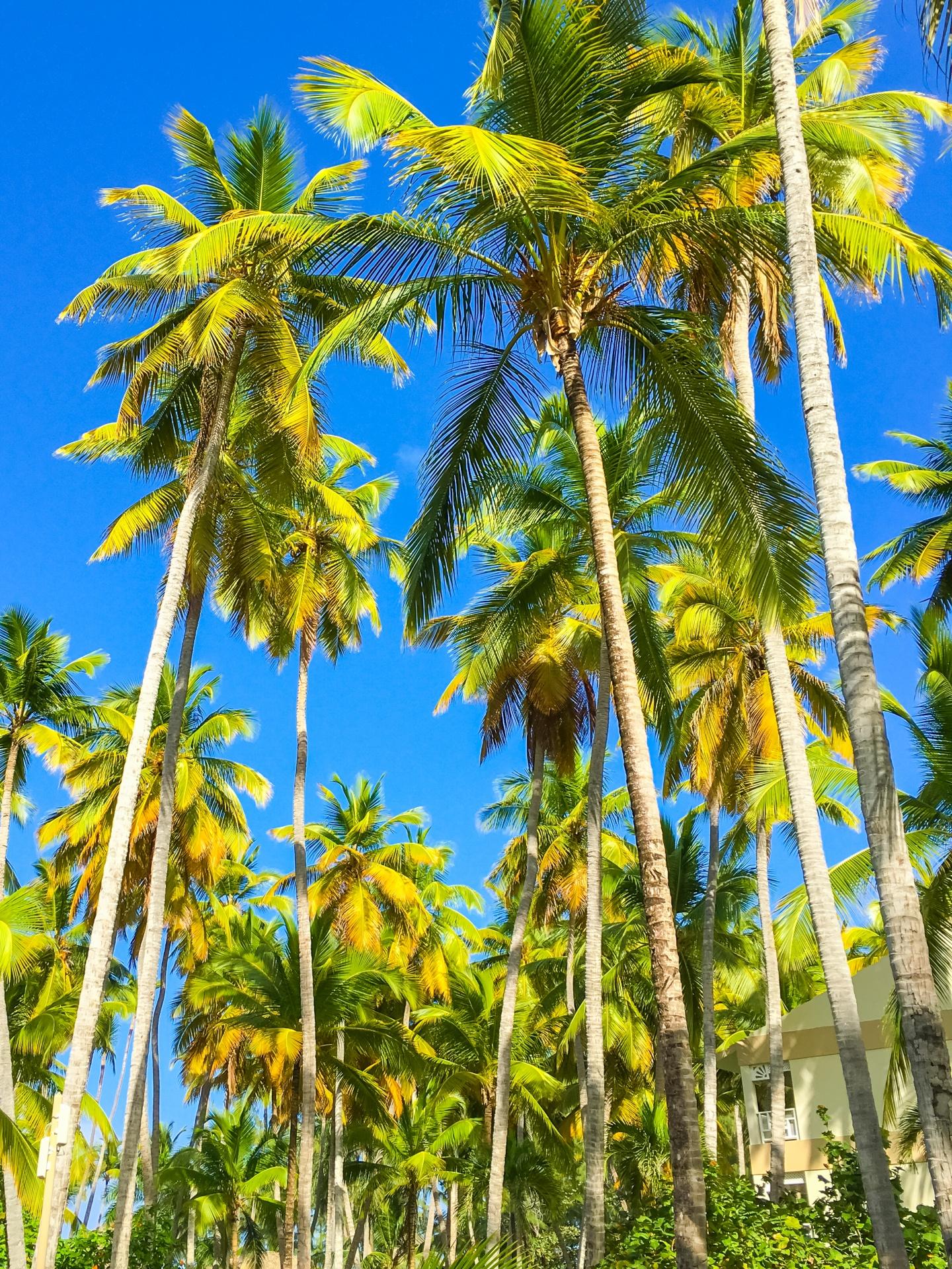 Palm Trees And Blue Sky Free Stock Photo  Public Domain