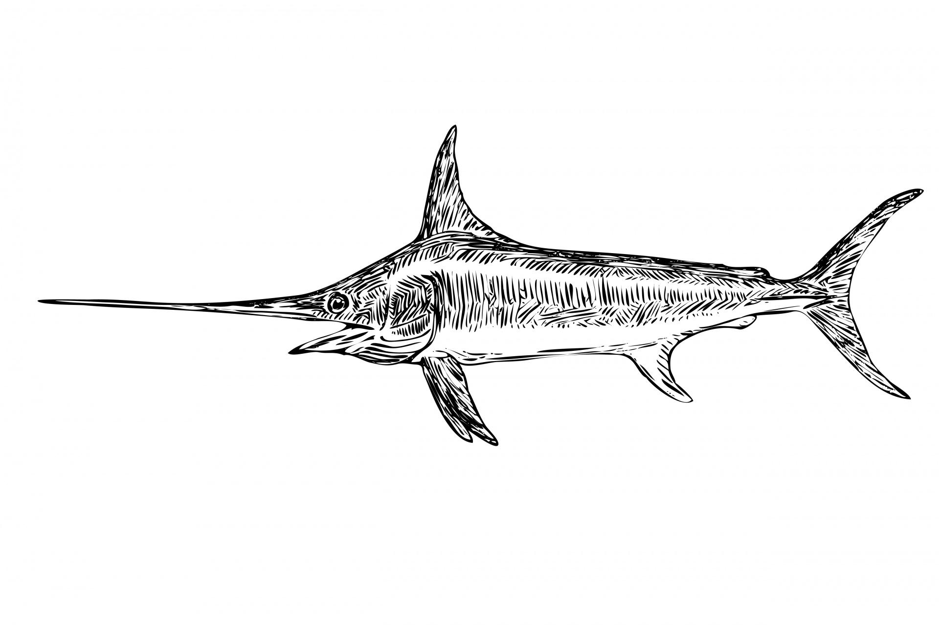 Swordfish Clipart Illustration Free Stock Photo