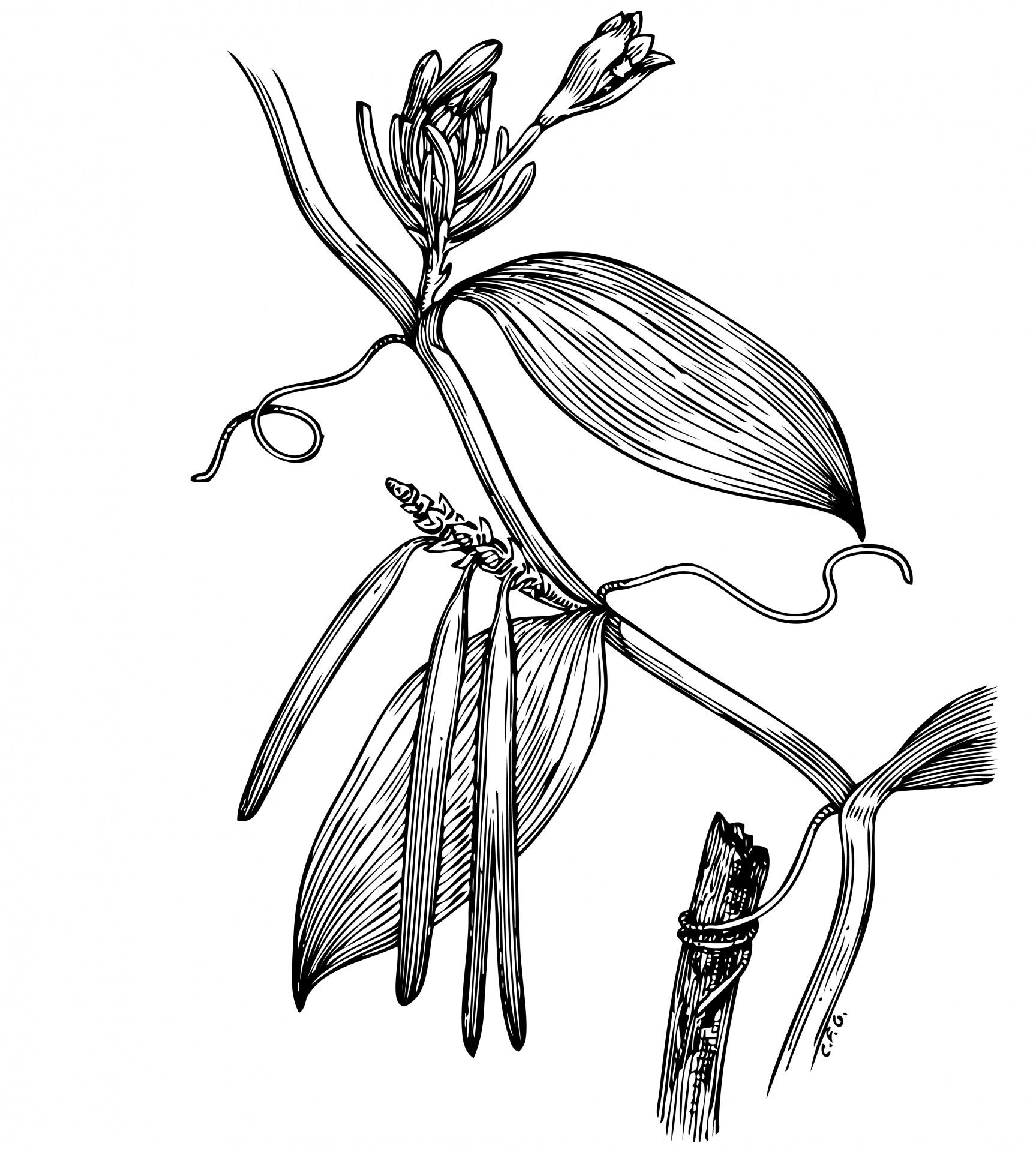 Vanilla Plant Illustration Clipart Free Stock Photo