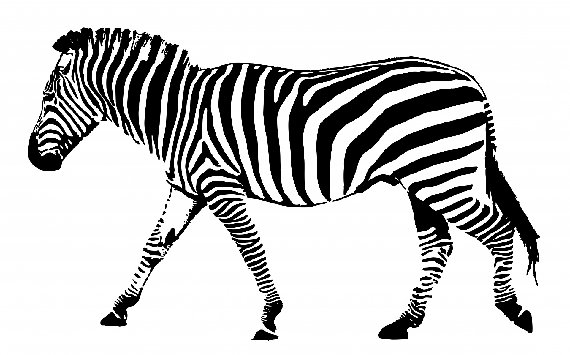 Zebra Black White Stripes Free Stock Photo