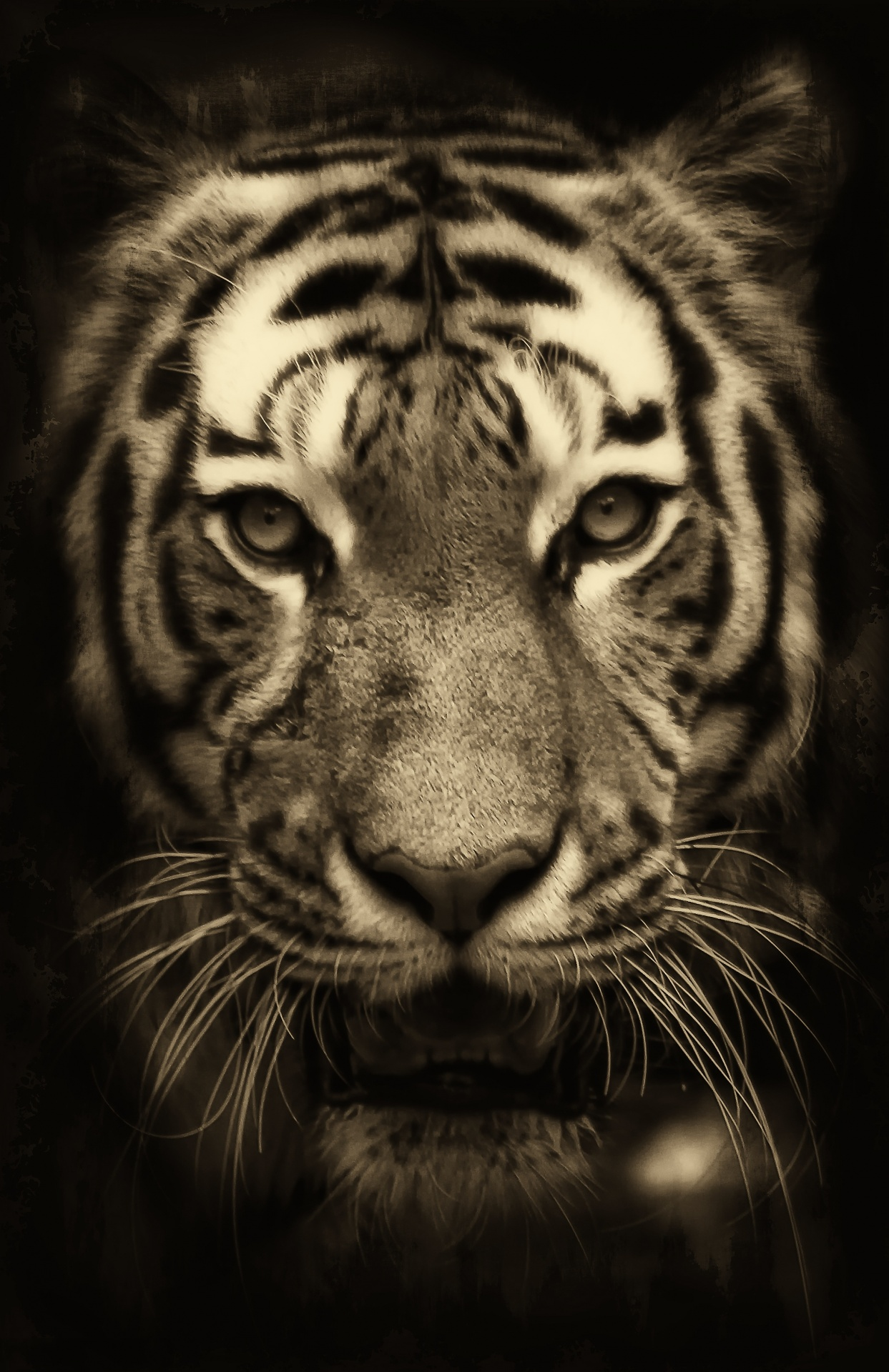 Tiger Free Stock Photo  Public Domain Pictures