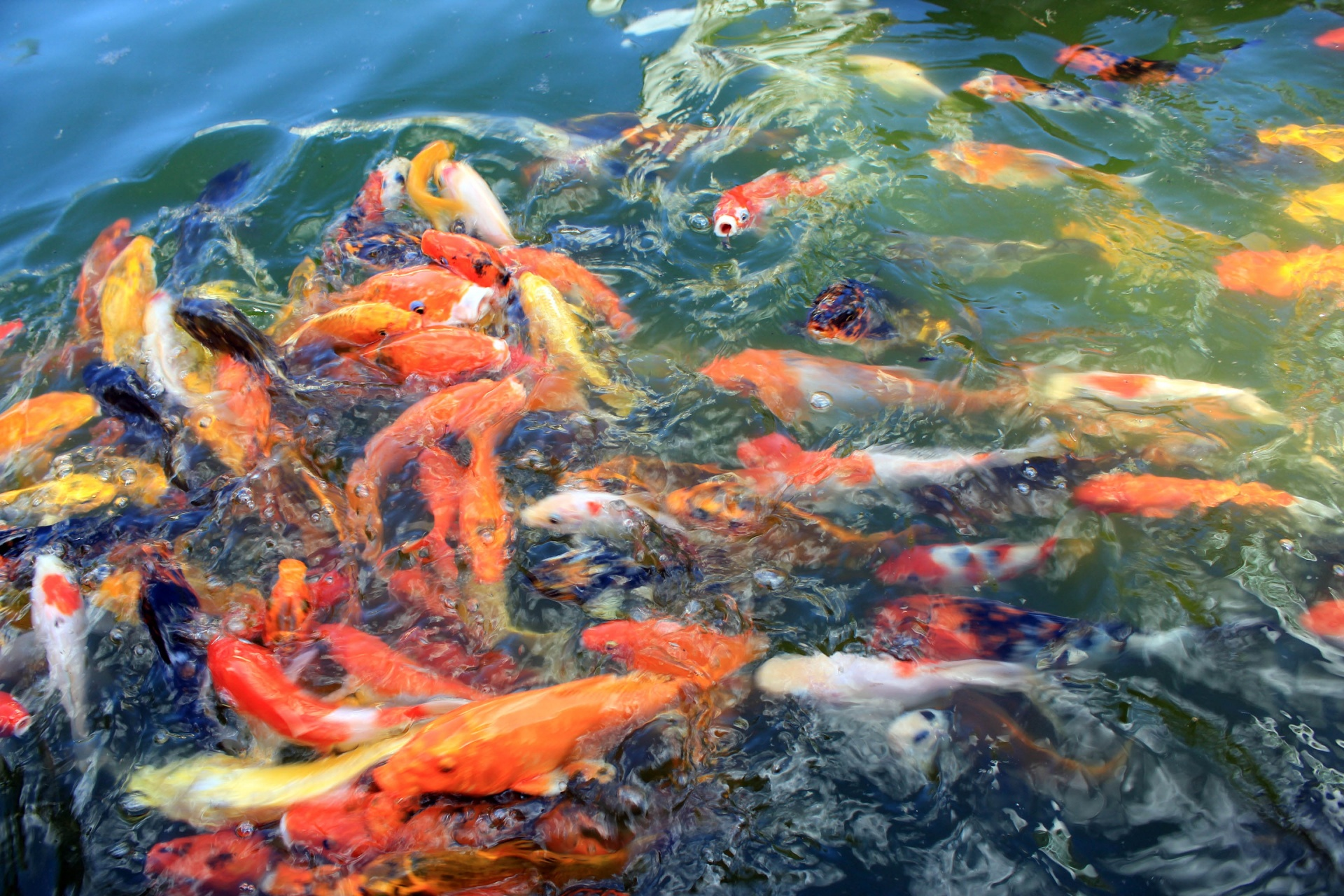Wallpaper Black And Gold Cute Koi Fish Free Stock Photo Public Domain Pictures
