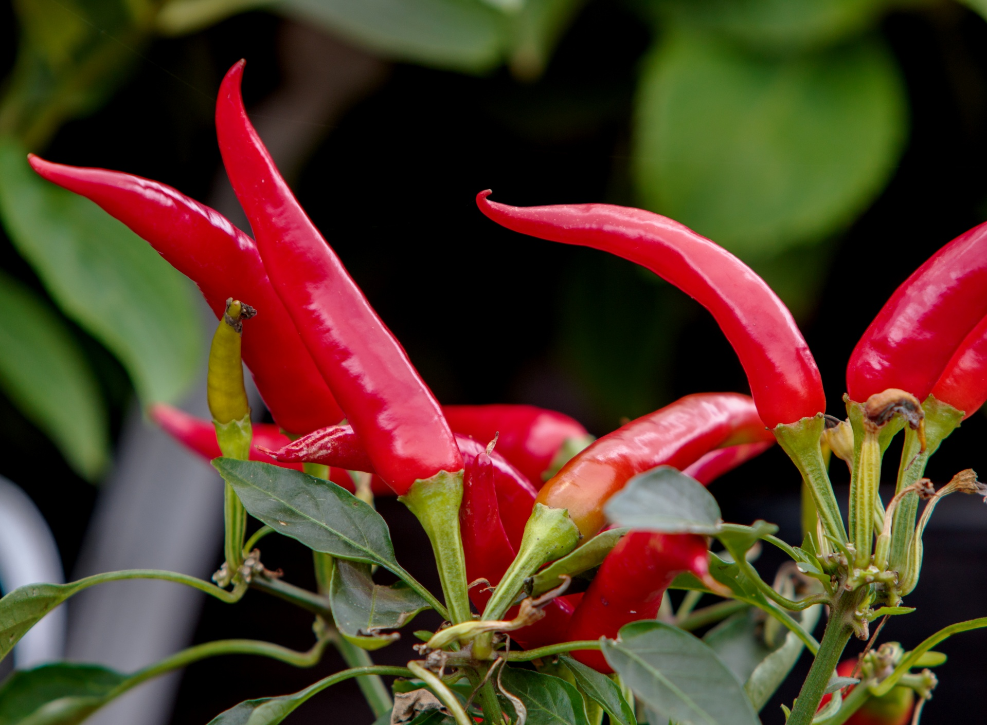 Red Chili Peppers Free Stock Photo - Public Domain Pictures