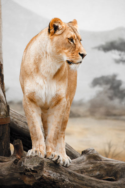 Lioness Profile Free Stock Photo  Public Domain Pictures