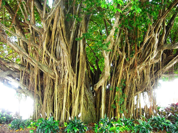 Shutterstock Hd Wallpapers Mangrove Tree Free Stock Photo Public Domain Pictures