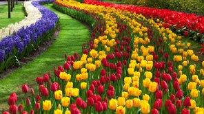 Tulip Flower Garden