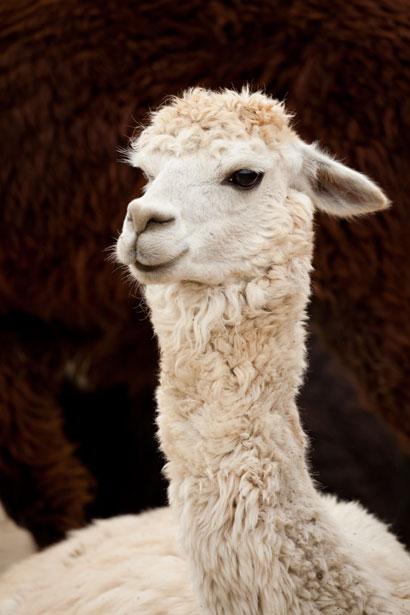 White Llama Free Stock Photo  Public Domain Pictures